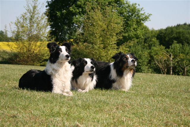 image-3borders-collie-dans-herbe