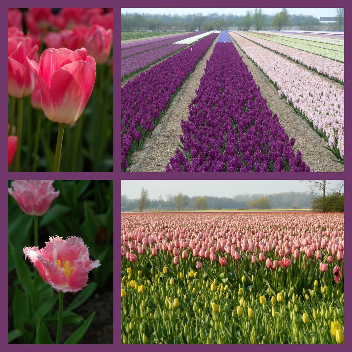 Champs de tulipes...